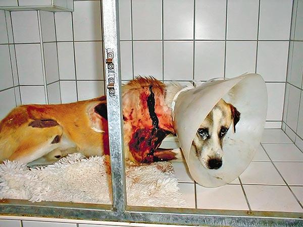 Ez csak egy eset (a tavalyi fadd-dombori), az állatvédő alapítványok a hazai állatkínzók számát több ezerre becsülik