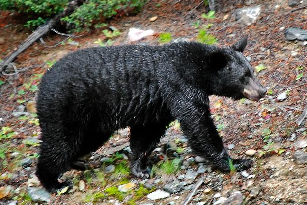a medvék lefogynak, amikor hibernálnak fogyás avondale